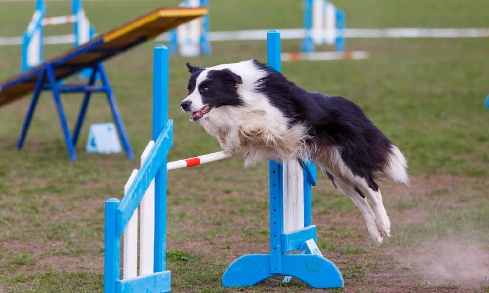 At What Age Do You Start Agility Training for Your Dog