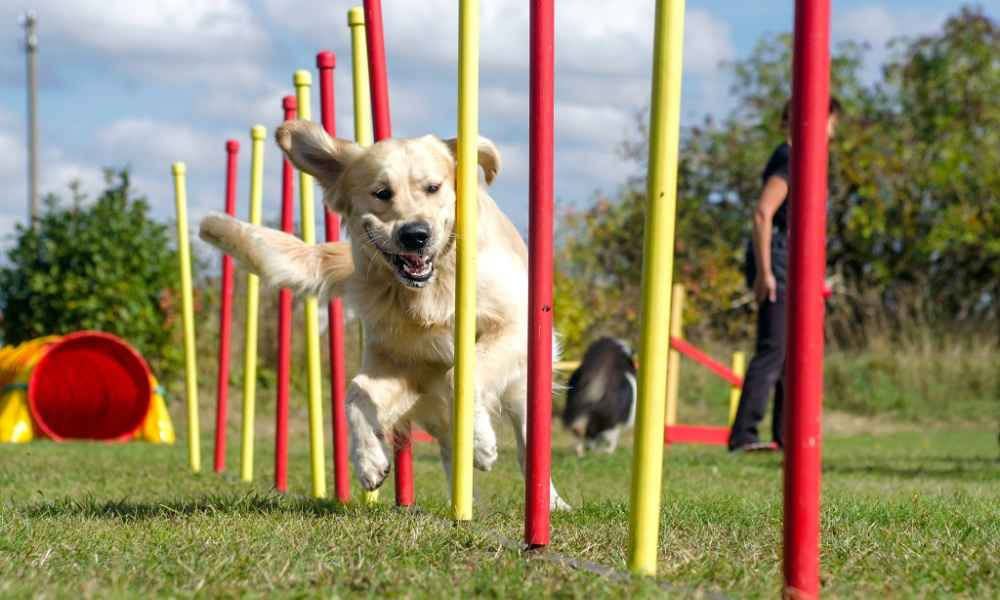 How to Train a Dog for Agility