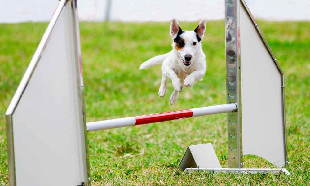 What Age to Start Agility Training