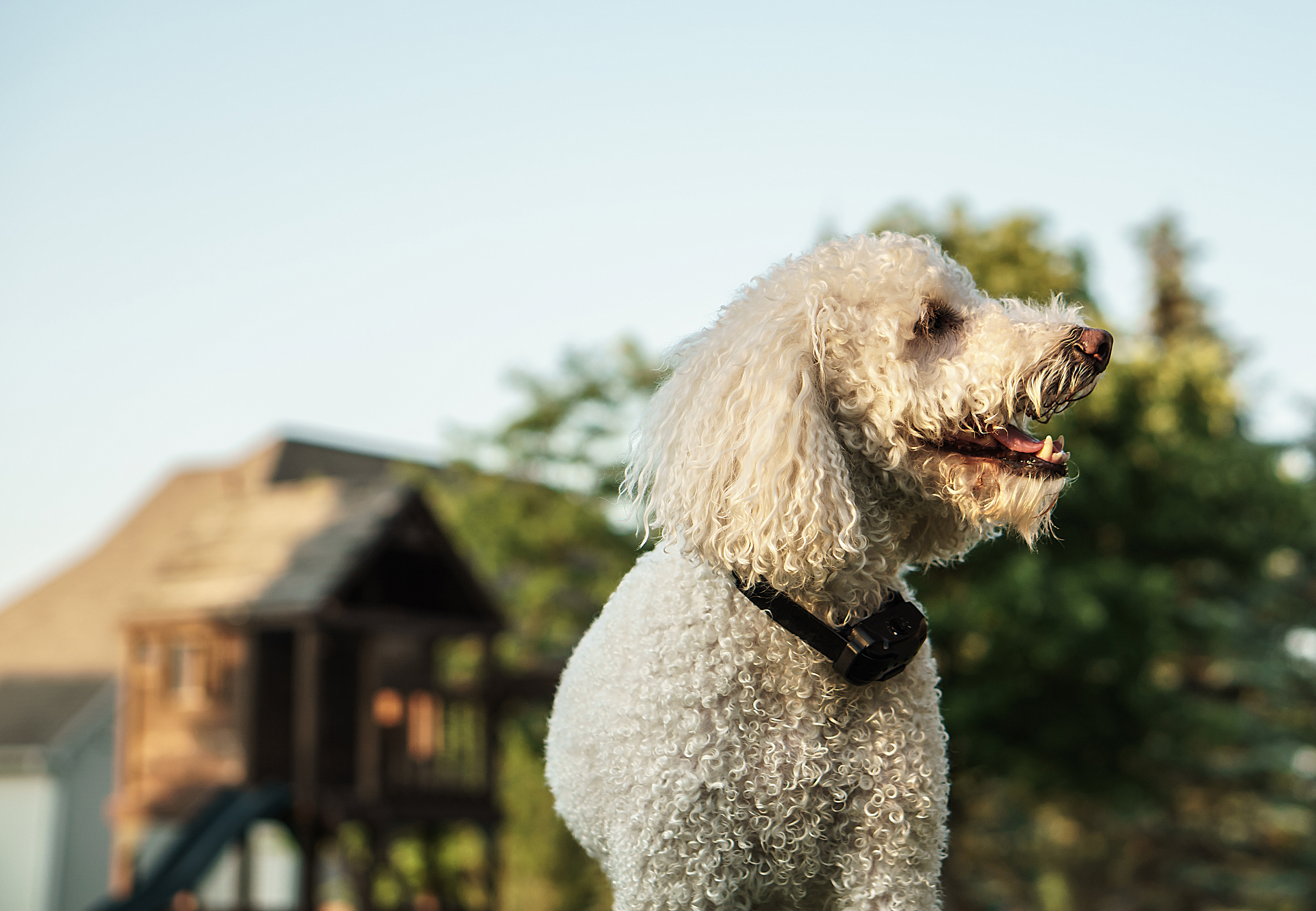 How to Train Your Dog With a Bark Collar