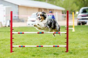 How to Agility Train Your Dog at Home