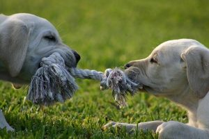 Best Toys for Lab Puppies