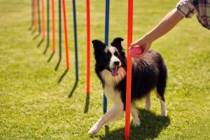 Best Agility Training Products for Dogs