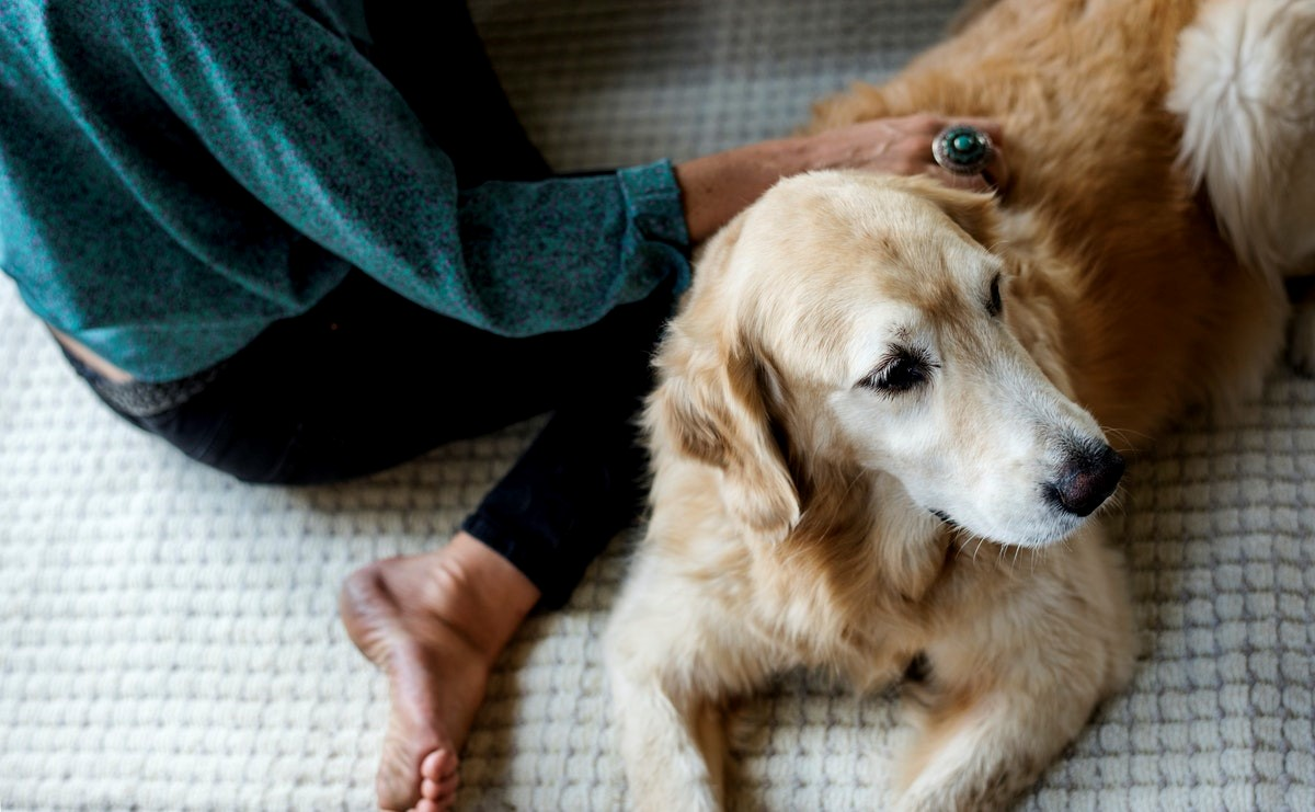 7 Crazy Facts about Golden Retrievers' Life Span (And 7 Tips to Increase It)