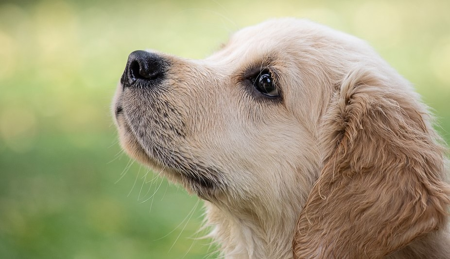 Golden Retriever Grooming—What Tasks Need Doing