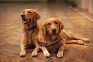17 Tips to Manage Golden Retriever Shedding (& Keep Your House Clean)