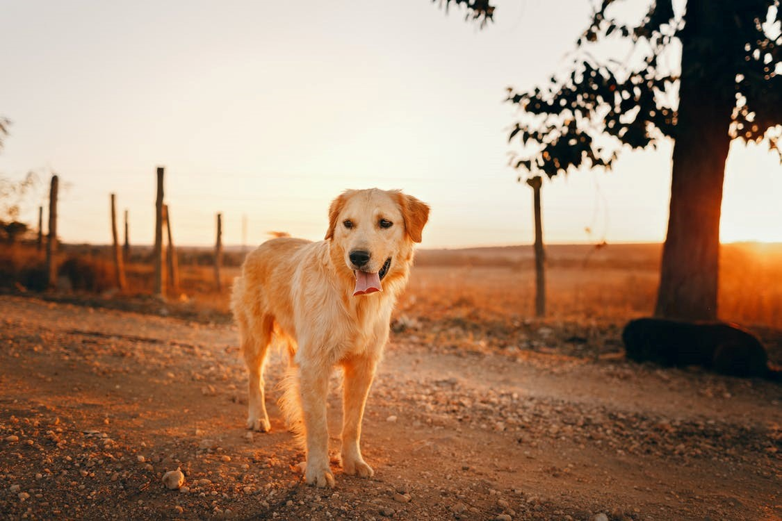 Canadian Golden Retriever Facts and Care Tips