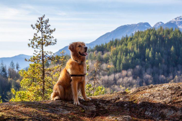 Golden Retriever Sitting on the Cliff