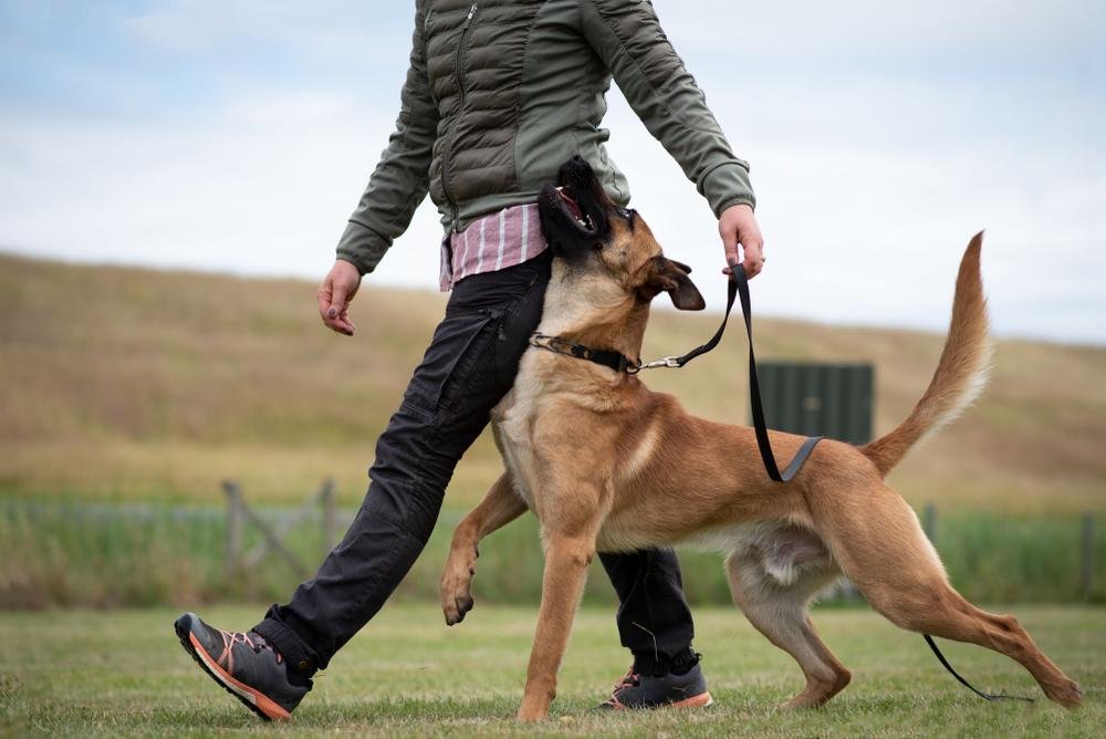 Belgian Shpeherd Heeling Dog Sport