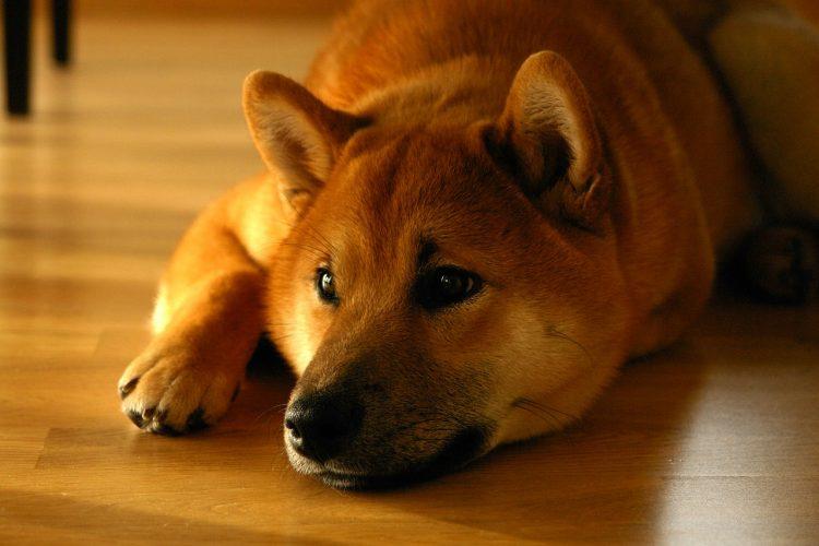 dog laying on floor