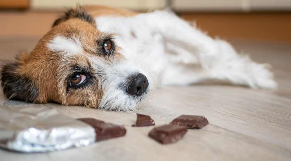 How Much Chocolate Can Kill a Dog? Here's What You Should Know